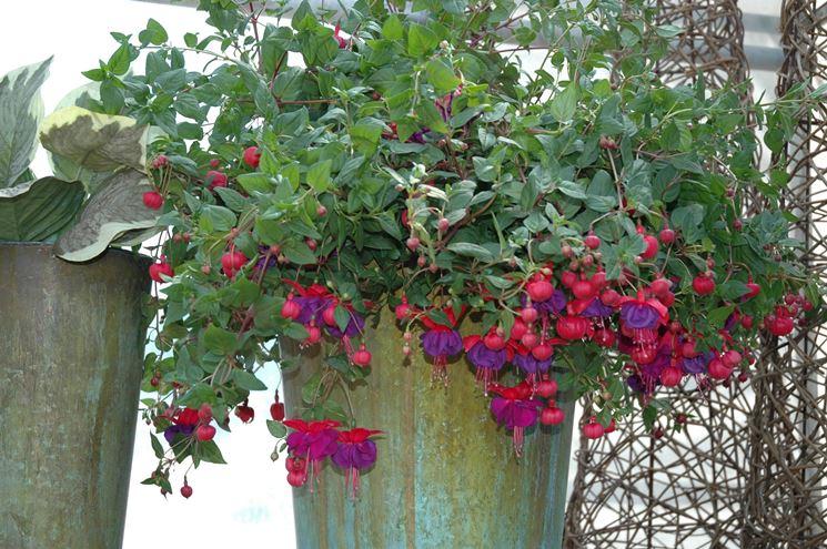 Un esemplare di fuchsia in fiore