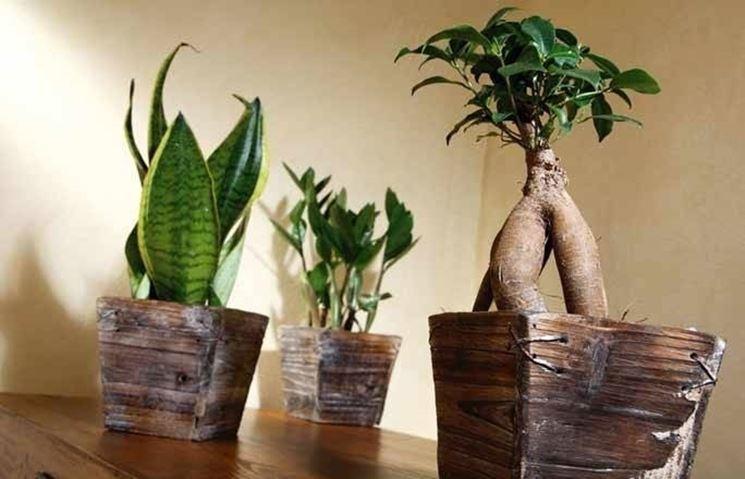 Tre esempi di piante d'interni: Sanseveria, Zamioculcas, Ficus Ginseng bonsai