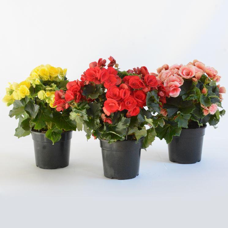 Piante da appartamento con fiori piante da interno - Piante fiorite da appartamento ...