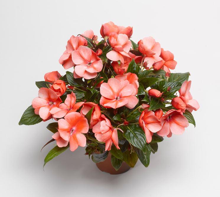 Piante da appartamento con fiori - Piante da interno - Piante con fiori da interno