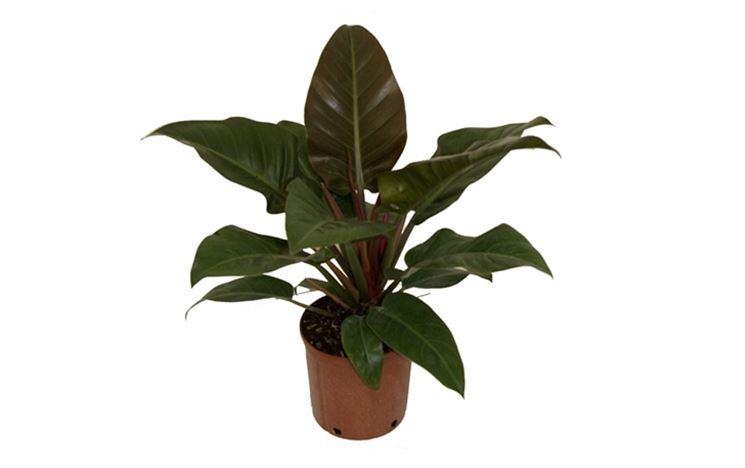 Piante da appartamento con poca luce piante da interno for Piante da interno alte