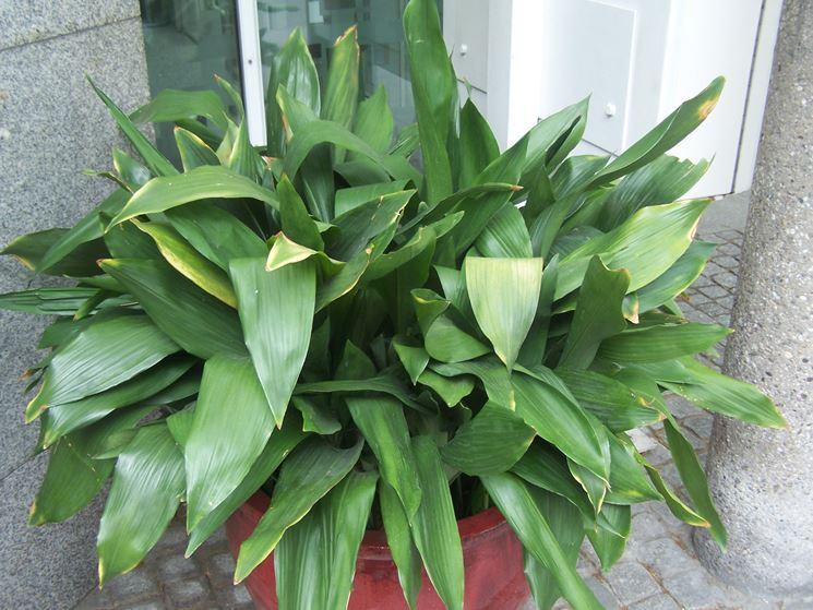 Piante da appartamento con poca luce piante da interno - Piante verdi interno ...
