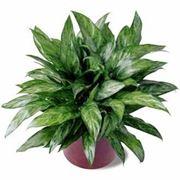 piante da appartamento resistenti