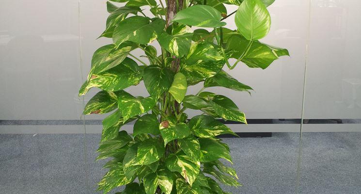 pianta potos