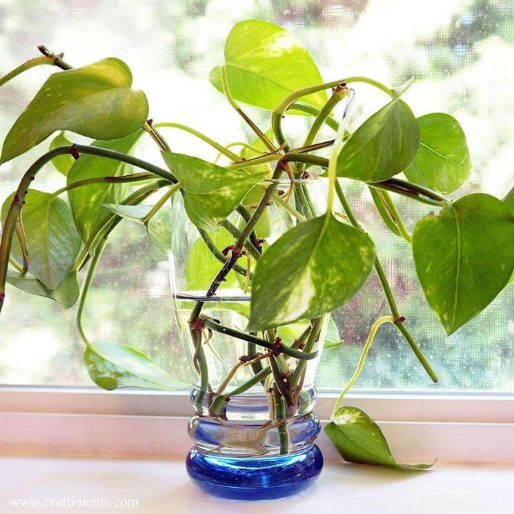 Potos piante da interno potos appartamento - Come coltivare il basilico in casa ...