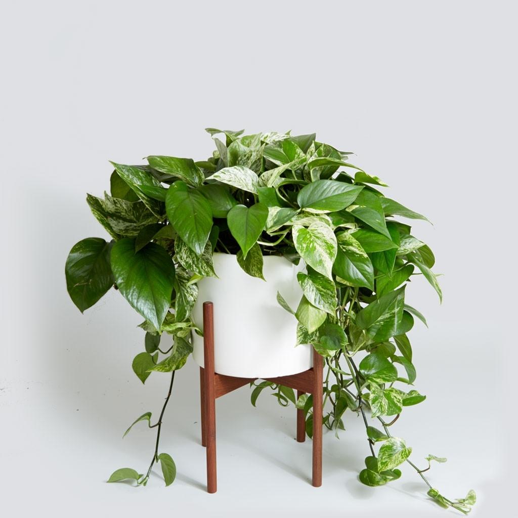 Potos piante da interno potos appartamento - Piante da interno piccole ...