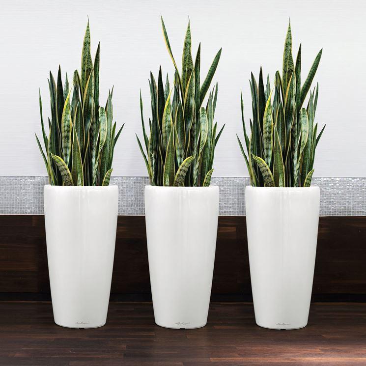 Sansevieria trifasciata in vaso