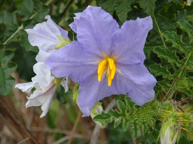 Fiore solanum capsicastrum