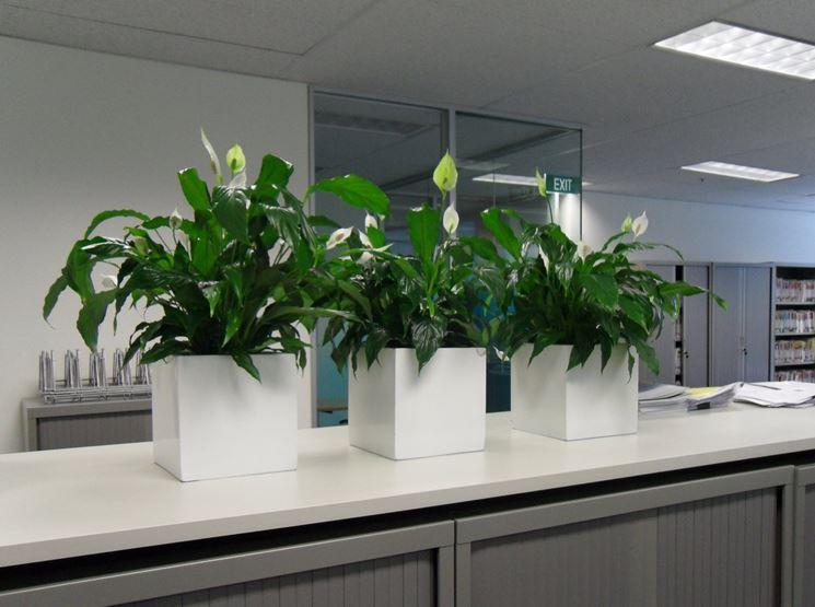 piante spatafillo