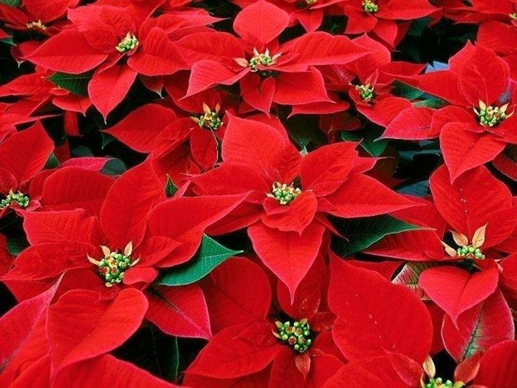 Varietà di stella di Natale