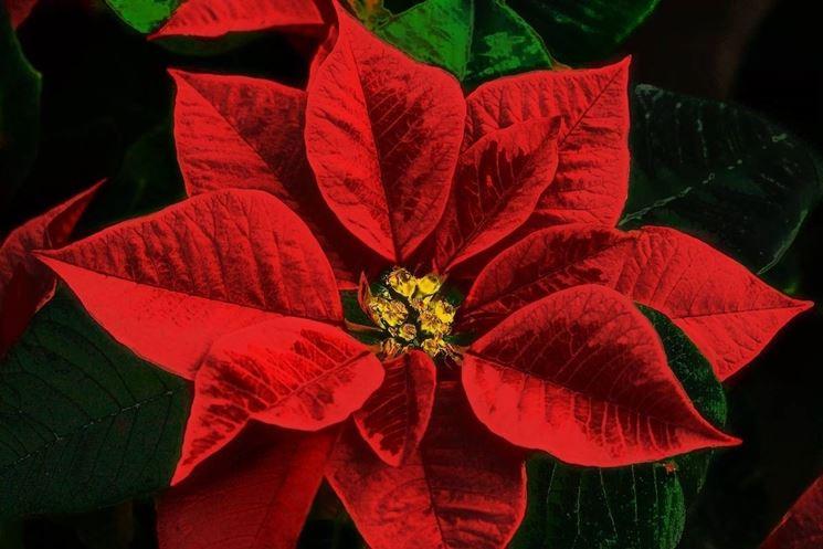 Dettaglio della stella di Natale