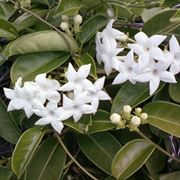 Pianta stephanotis interno