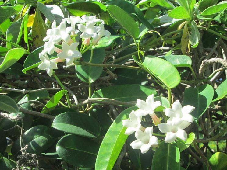 Coltivazione gelsomino pianta