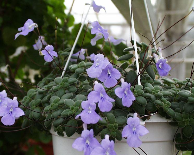 streptocarpus fiore