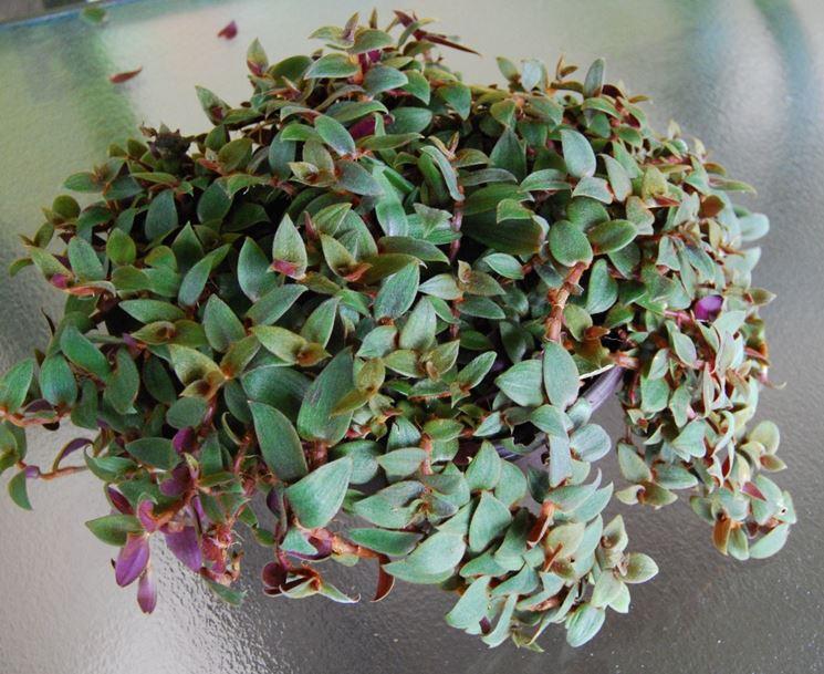 Tradescantia piante da interno tradescantia da - Piante da interno piccole ...