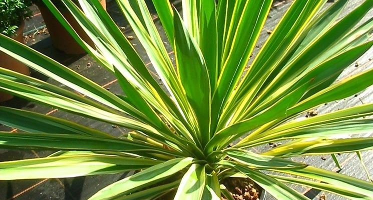 fiori di yucca gloriosa