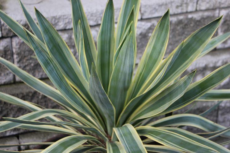 yucca gloriosa in fiore