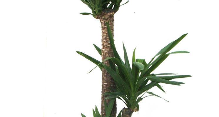 La Yucca come pianta da appartamento