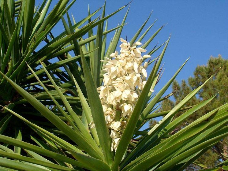 Fiori in un esemplare di Yucca