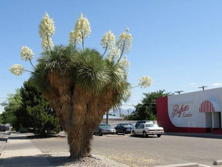 Pianta fiorita di yucca rostrata