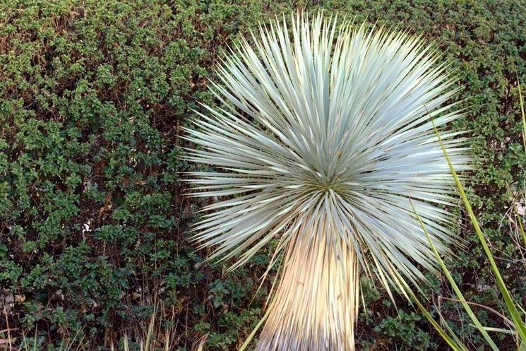 Foglie di yucca rostrata
