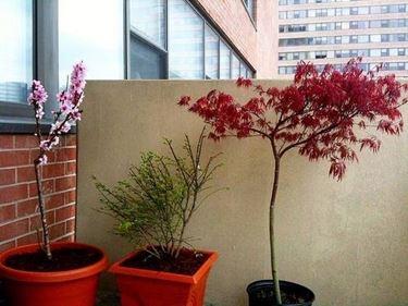 Alberi da terrazzo piante da terrazzo for Alberi da terrazzo sempreverdi