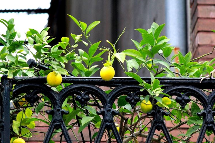 albero di limoni in terrazzo