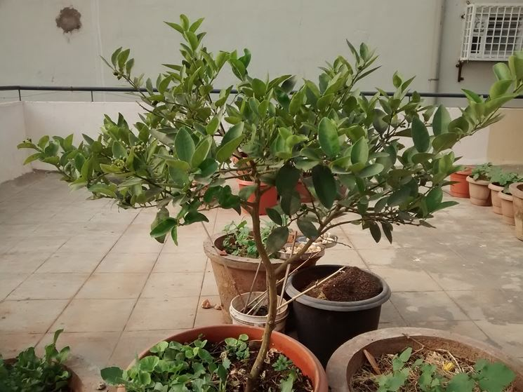 Alberi da terrazzo piante da terrazzo alberi per il for Piante ornamentali da terrazzo