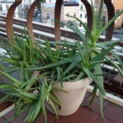 Aloe vera sul terrazzo