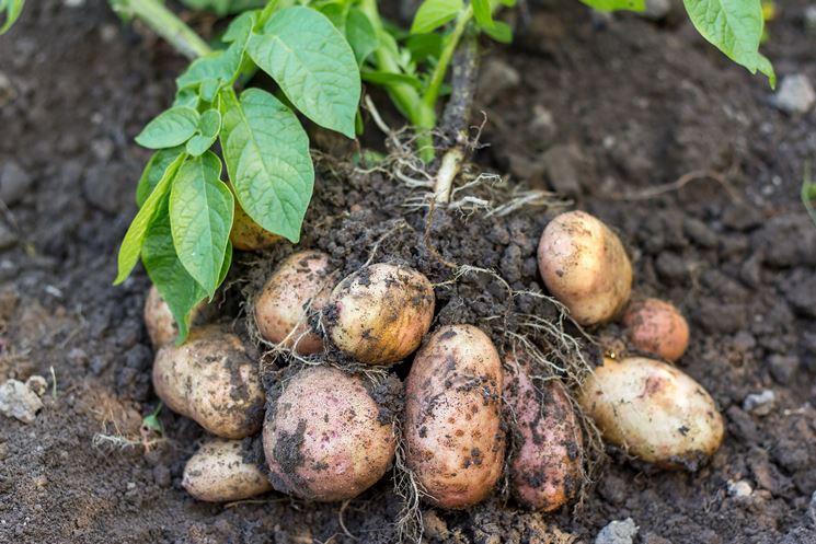 Solchi di patate