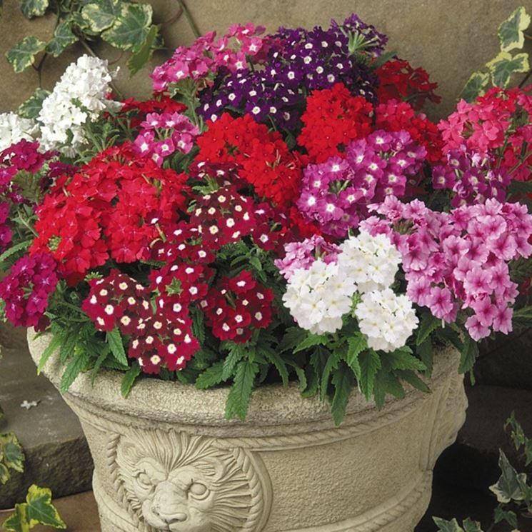 Come decorare il terrazzo con le piante di verbena - Piante da terrazzo