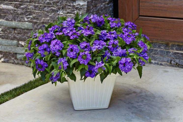 vaso di verbena viola
