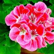 Fiore di geranio rosso