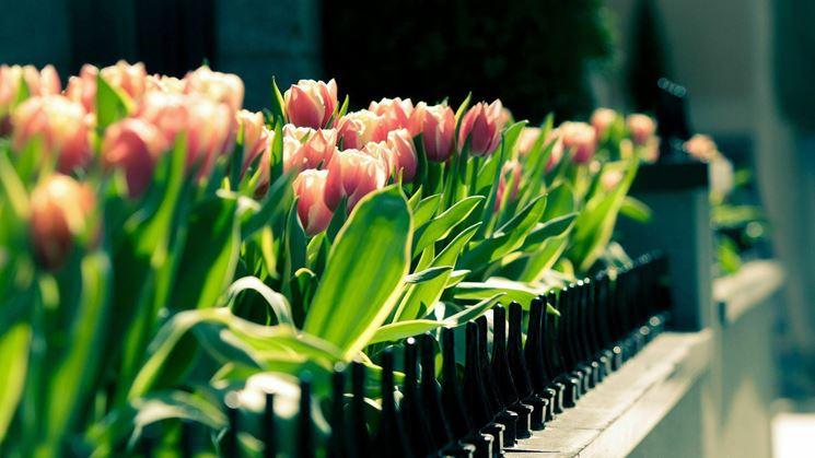 tulipani in terrazzo