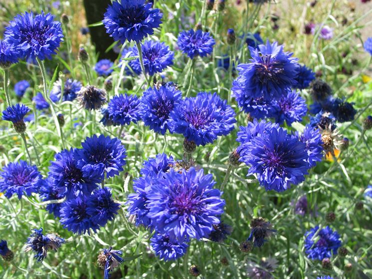 fiori fiordaliso