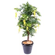Una pianta di glicine in vaso