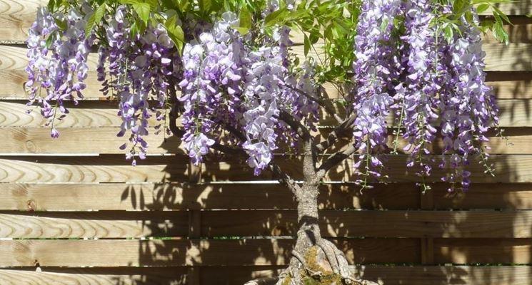 I bellissimi fiori del glicine