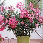 Esemplari di oleandro in vaso pronti per la vendita