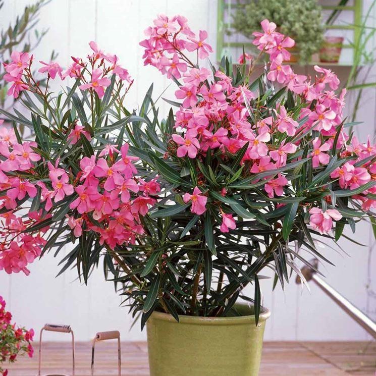 Esemplari di <strong>oleandro in vaso</strong> pronti per la vendita
