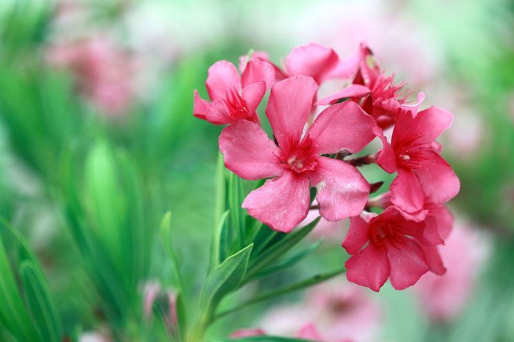 I fiori dell'oleandro
