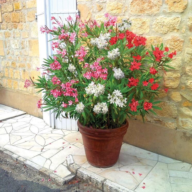 Un oleandro coltivato in un grande vaso