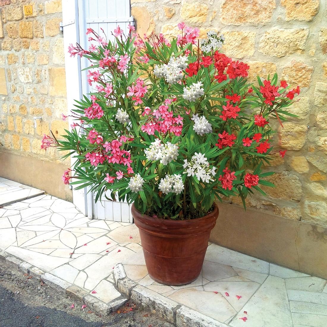Oleandro in vaso piante da terrazzo coltivare l for Piante da frutto nane in vaso
