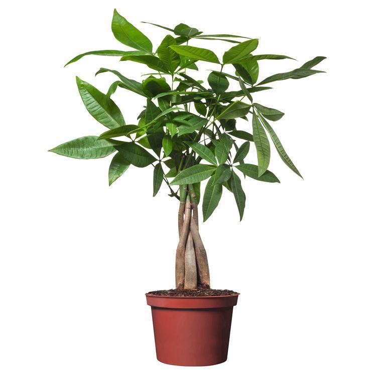 Pachira acquatica - Domande e Risposte piante appartamento - Pachira ...