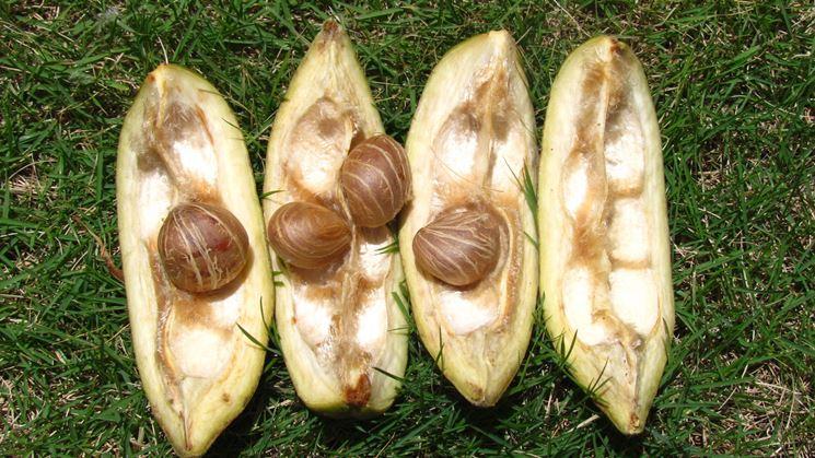 frutti della pianta pachira