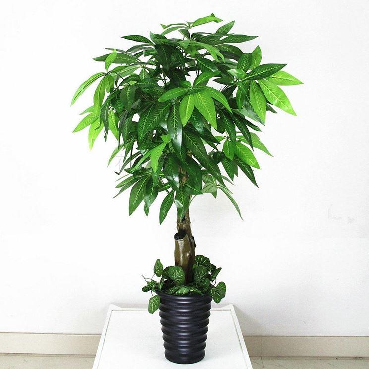 coltivare la pianta pachira