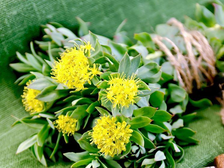 Piante da balcone sempreverdi piante da terrazzo for Piante da terrazzo sempreverdi
