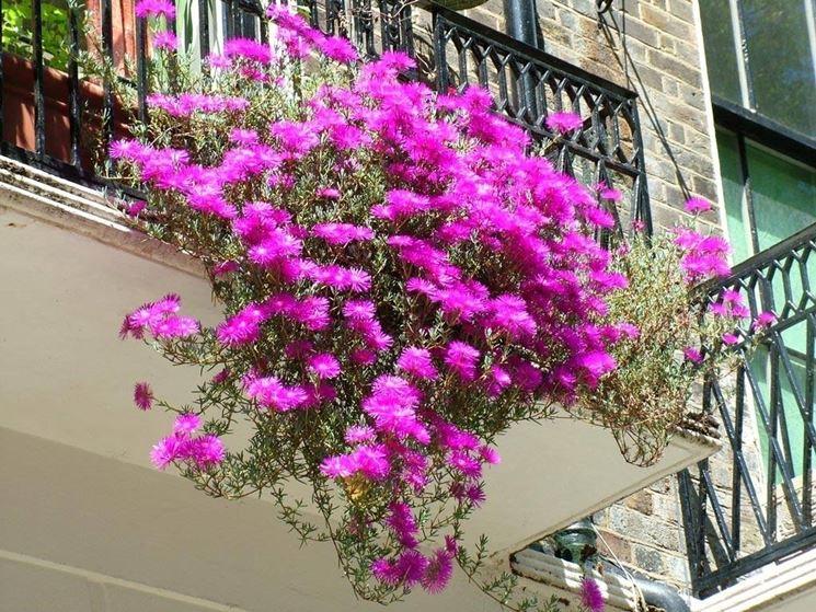 Piante da balcone piante da terrazzo caratteristiche for Piante da terrazzo sempreverdi