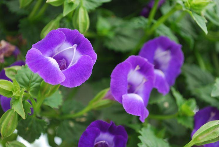 fiori torenia