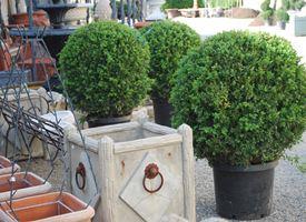 piante da vaso sempreverdi