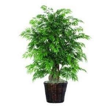 Casa immobiliare accessori pianta da vaso sempreverde for Piante da frutto vaso